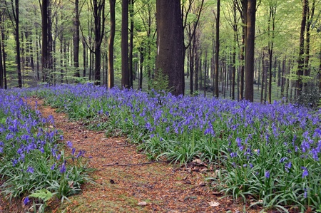 Forest track between bluebells