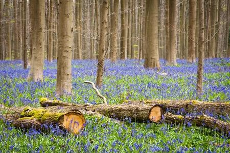 bluebells: Bluebells in springtime Stock Photo
