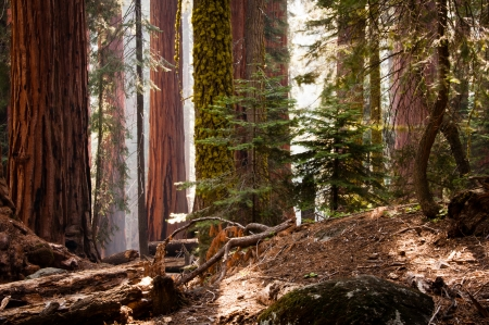 Tall trees in Sequoia National Park Stock Photo