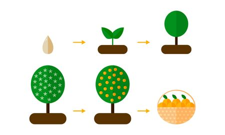 illustration. growth stages of orange trees Blooming orange tree. seedling Banco de Imagens - 132463147