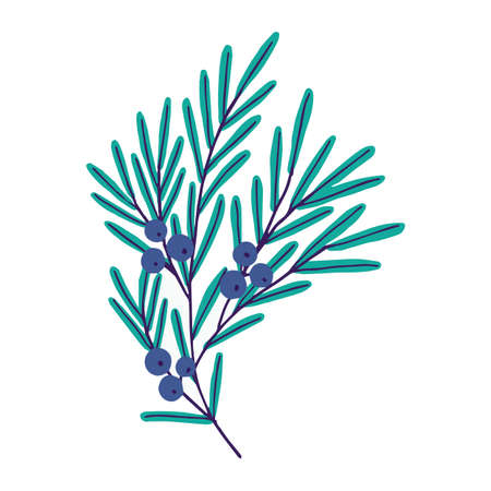 Vector illustration. Cute plant with blue berries. Juniper isolated on white background.