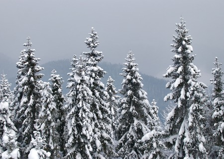 Fir trees in winter snow
