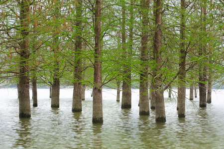 flooded trees landscape at springtime. smooth water.