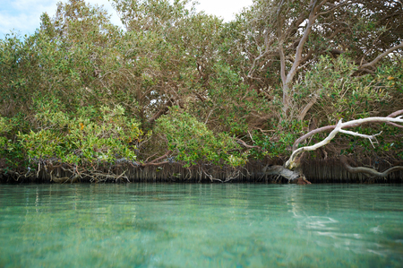 Mangrove trees along the sea Stock Photo