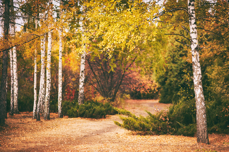 Autumn birch forest background Stock Photo