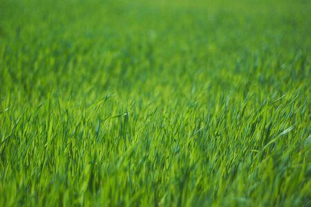 Fresh green grass close up, selective focus