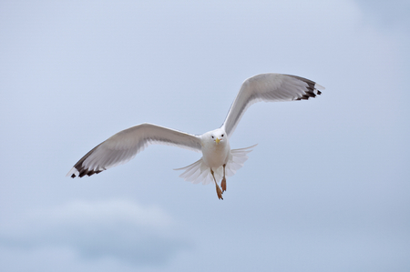 Seagull flying on cloudy white sky