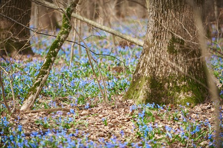 first blue flowers Scilla grows in early spring in the forest. Фото со стока