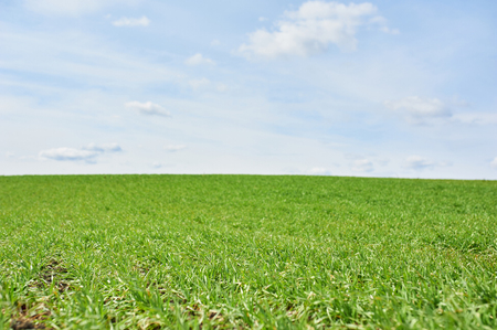 Field with green wheat and blue sky, spring time.