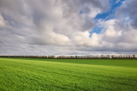 Field with green wheat and dramatic sky