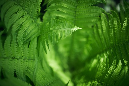 Beautyful ferns leaves green foliage natural floral fern background. selective focus.