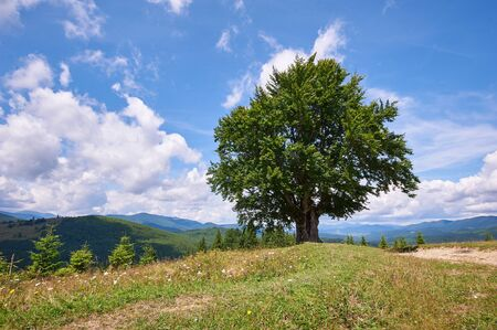Mountain landscape with lonely beech tree in the foreground. Sunny day. Carpathians, Ukraine.
