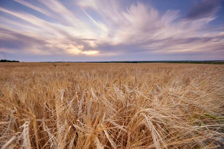 Wheat field. Ears of golden wheat close up. Background of ripening ears of meadow wheat field.