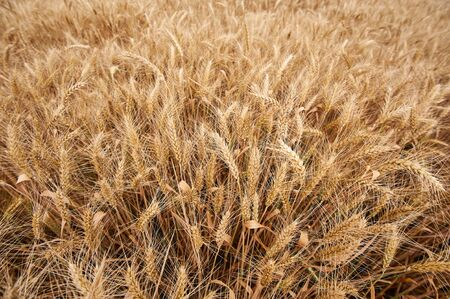 Wheat field. Ears of golden wheat close up. Background of ripening ears of meadow wheat field. Top down view.