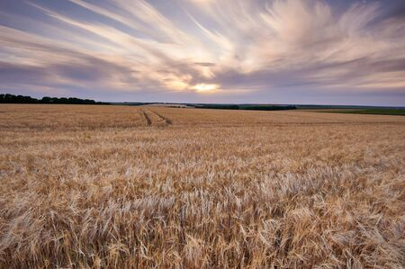 Wheat field. Ears of golden wheat close up. Background of ripening ears of meadow wheat field
