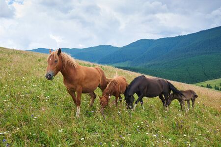 A herd of wild horses in the mountains. Summer day.