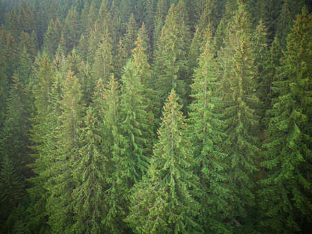 texture of green fir trees aerial top down view