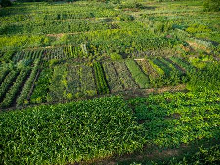 Green vegetable garden, aerial top down view