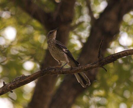 mockingbird: Northern Mockingbird Chick (Mimus polyglottos)