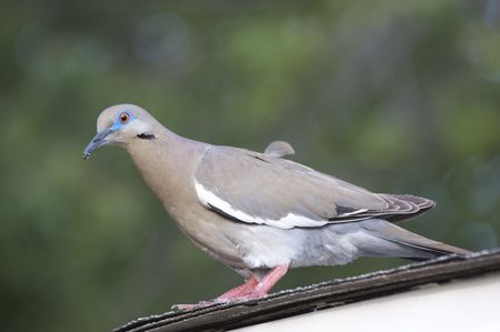 White Winged Dove (Zenaida asiatica) on Roof