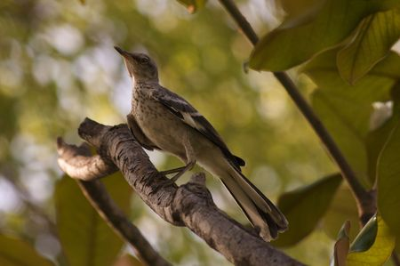 mockingbird: Northern Mockingbird Chick Perching on Tree Limb (Mimus polyglottos)
