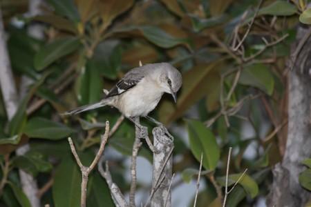 mockingbird: A northern mockingbird perched on a tree stump, looking down.