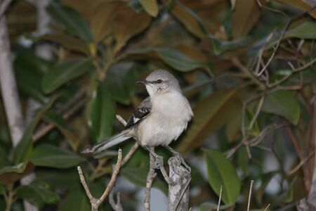 A northern mockingbird perched on a tree stump, looking left. Imagens