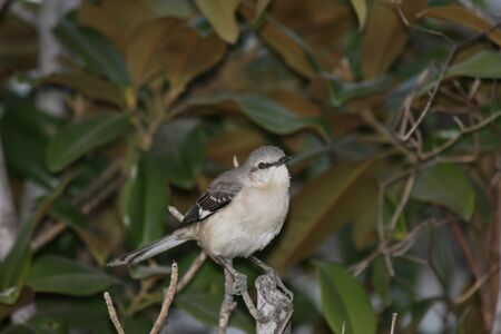 A northern mockingbird perched on a tree stump, looking right.