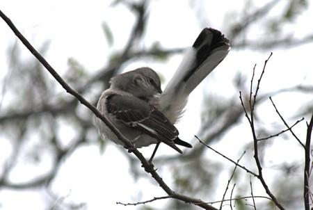 mockingbird: A northern mockingbird perched on a tree branch, preening his tail.
