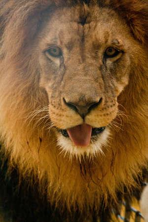 head close up: lions mane
