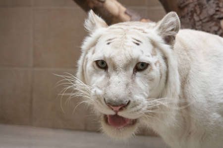 snarling white tiger Stock Photo - 9309867