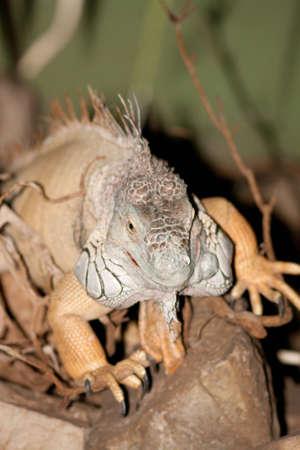iguana on the way Reklamní fotografie
