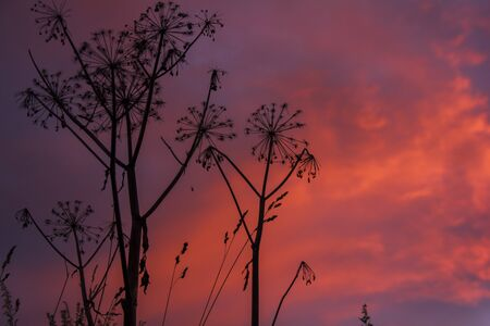 Common Hogweed Heracleum sphondylium on a sunset background, fiery heavens Stock Photo
