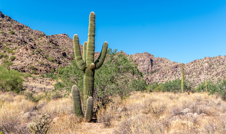 Beautiful Saguaro cactus on a sunny day in the white tank mountains