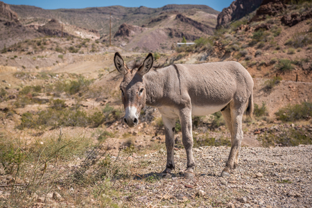 Wild burro grazing on the side of gravel road on route 66 in Arizona. Stock Photo