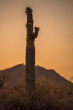 Lonely saguaro cactus standing alone in the desert at sunset Stock Photo