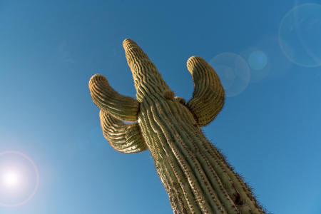 Looking up at a Saguaro cactus to the blue sky with sun flare.