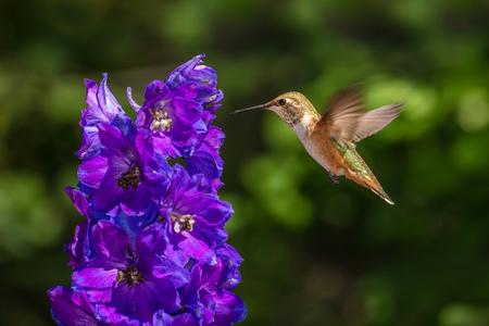Rufous Hummingbird in Flight and Delphinium