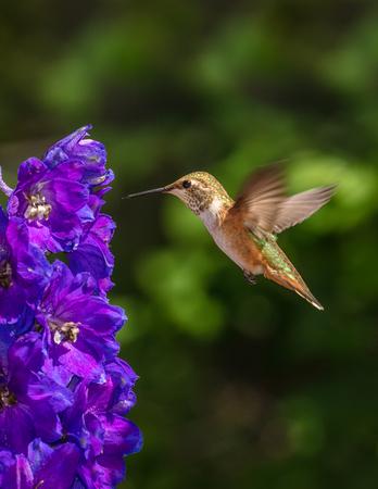 Vertical Rufous Hummingbird and Delphinium