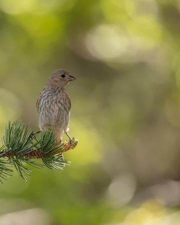 Backlit Female Crossbill on Pine Branch Reklamní fotografie