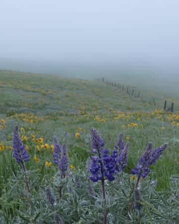 Portrait of Lupine in Fog, Spring in Oregon