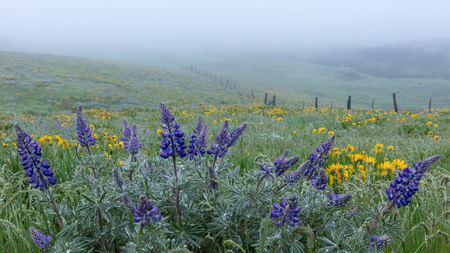Lupin and Fence Line in Fog