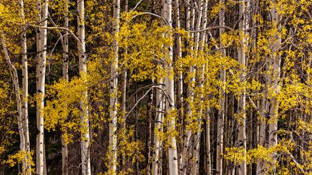 Autumn Aspen leaves and white bark