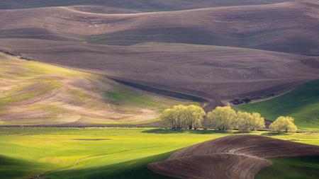 Palouse Region with Row of Trees in Sunlight Reklamní fotografie