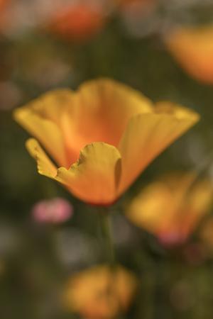 California Poppy in a Field of Wildflowers Reklamní fotografie