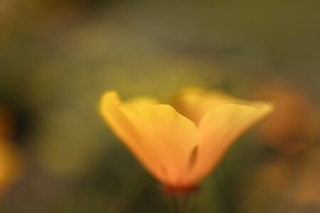 Iridescent California Poppy Reklamní fotografie