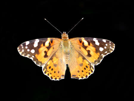 variegated: Variegated butterfly on a black background Stock Photo