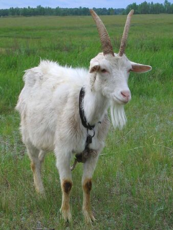 stubbornness: White goat on a leash, grazing in the meadow. Stock Photo