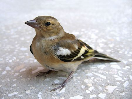 Carduelis spinus-chick sitting on the ground. Stock Photo