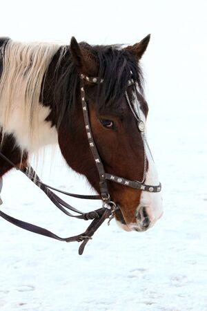 hobble: Horse head close-up. Stock Photo